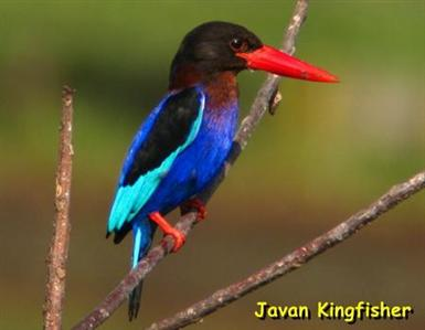 Gambar 4. burung kutilang, burung pelatuk, burung pentet dan burung